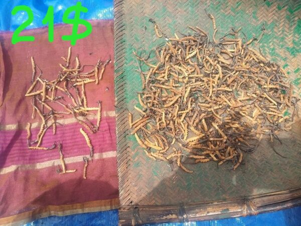 Кордицепс из Индии  (Кордицепс китайский — Ophiocordyceps sinensis), Ярсагумба