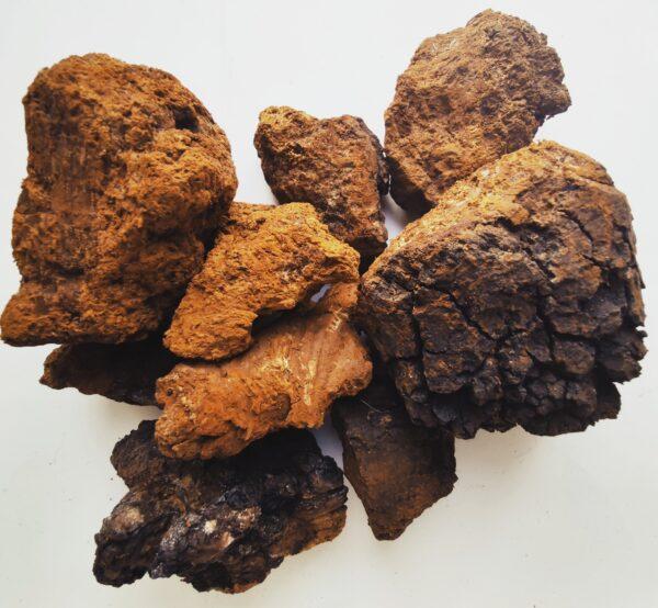 Чага, берёзовый гриб, Трутовиик скоошенный, Инонотус скоошенный, Inonotus obliquus